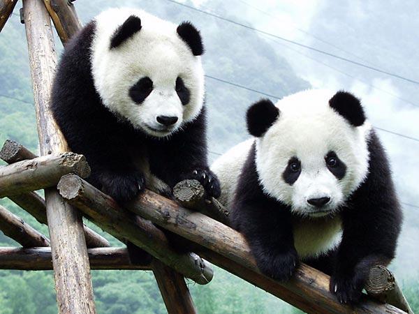 Panda gigante 01