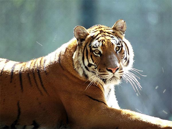 Tigre de Amoy