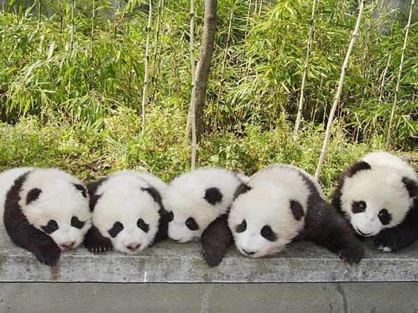 base del panda gigante