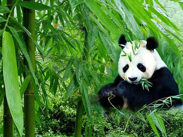 panda gigante 02