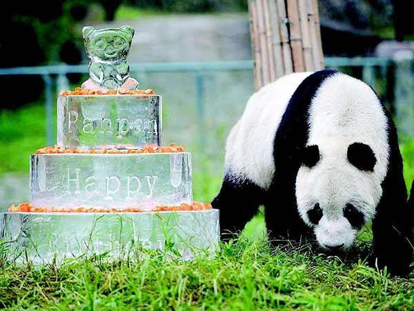 panda gigante 03