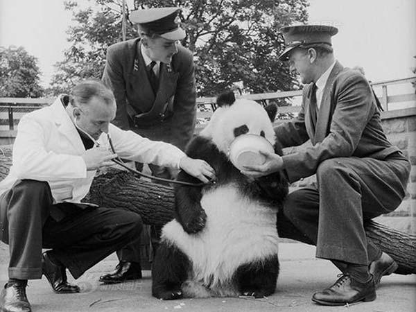panda gigante 05