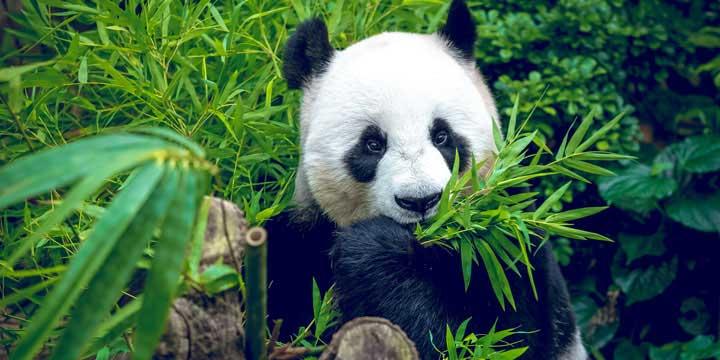 Base de Investigación de Cría de Panda Gigante