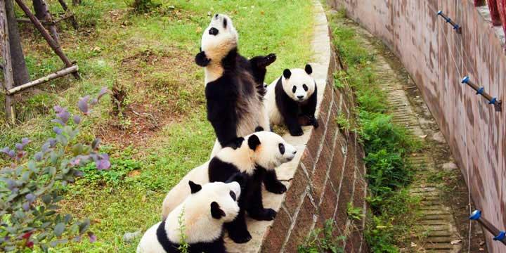 al Bas de Cria e Investigacion de Panda de Chengdu