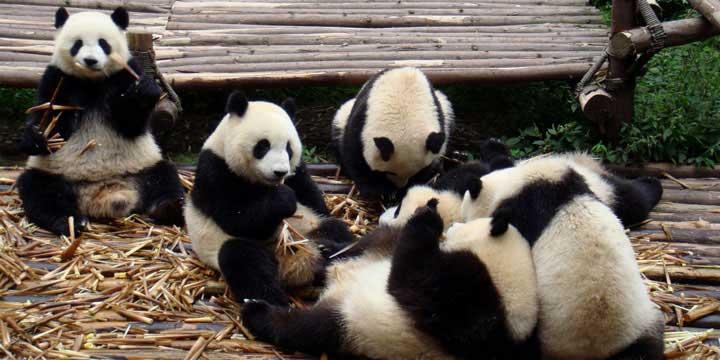 la Base de investigación de la crianza de Panda de Chengdu