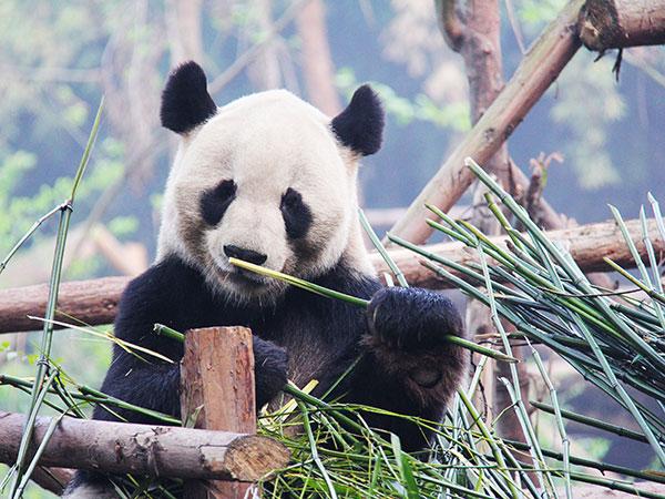 Panda oso