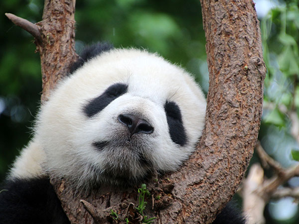 https://www.viajedechina.com/pic/city/chengdu/attractions/Chengdu-Research-Base-of-Giant-Panda-Breeding-20.jpg