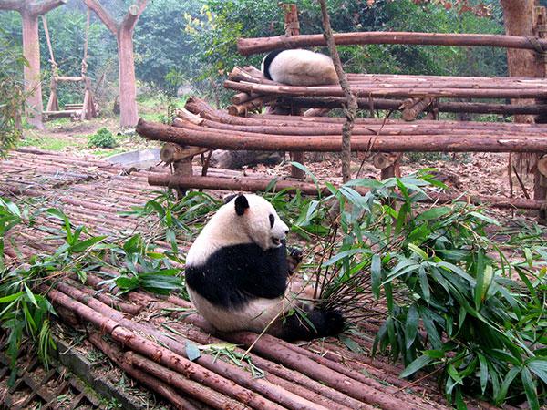 Base de Investigación de Crianza de Pandas Gigantes en Chengdu