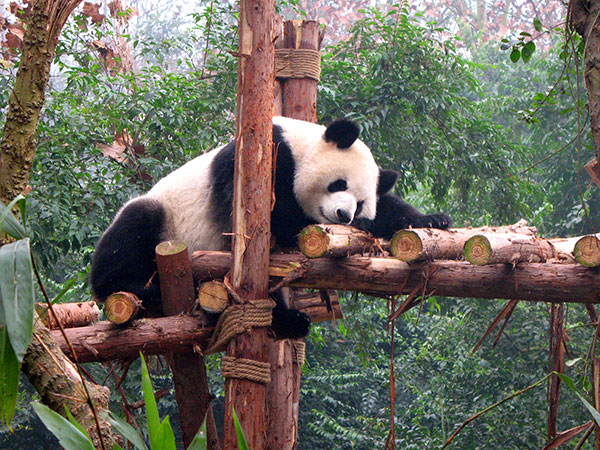 https://www.viajedechina.com/pic/city/chengdu/attractions/Chengdu-Research-Base-of-Giant-Panda-Breeding-8.jpg