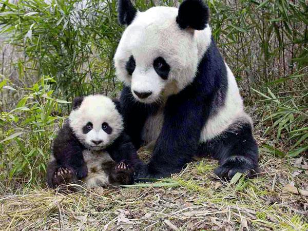 https://www.viajedechina.com/pic/city/chengdu/attractions/chengdu-reserach-base-of-giant-panda-breeding-17.jpg
