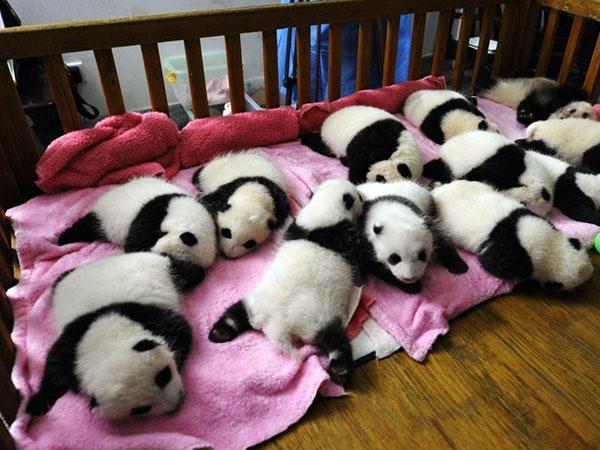 Base de Cría e Investigación del Panda Gigante