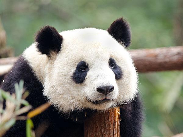 el Base de Cría e Investigación de Panda