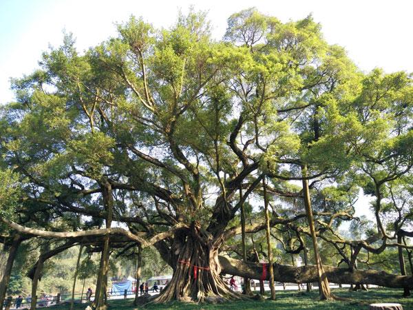 Gran Árbol del Banyan
