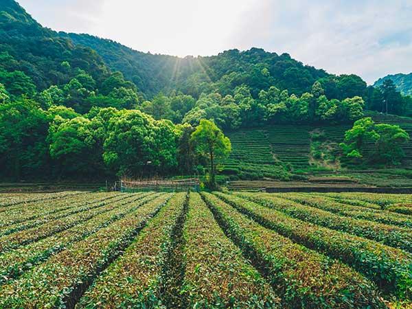 Plantación de Hangzhou 01