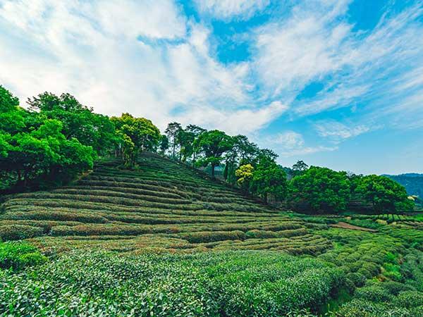 Ver plantación del té Longjing