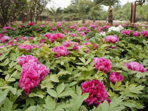 flores de poenia